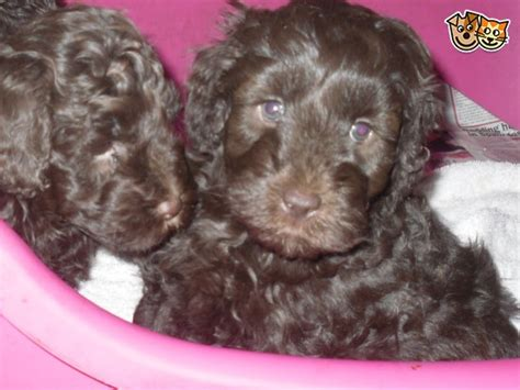 border doodle puppies for sale uk collie doodle puppies for sale uk breeds picture