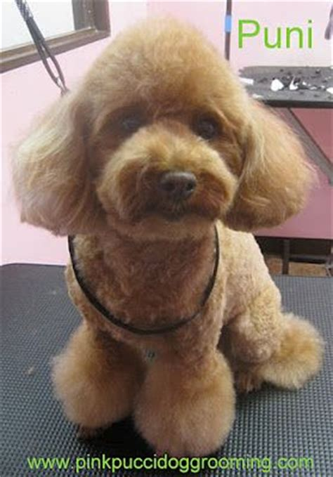exles of poodle cuts styles 17 best images about poodle grooming on pinterest