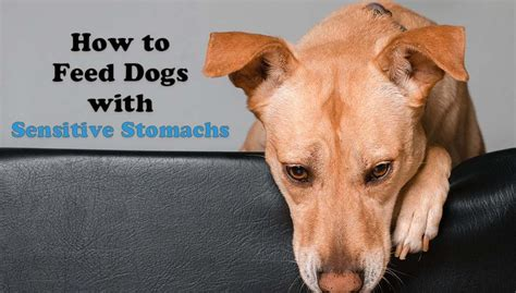 dogs stomach is 9 tips on how to feed dogs with sensitive stomachs and tummy issues