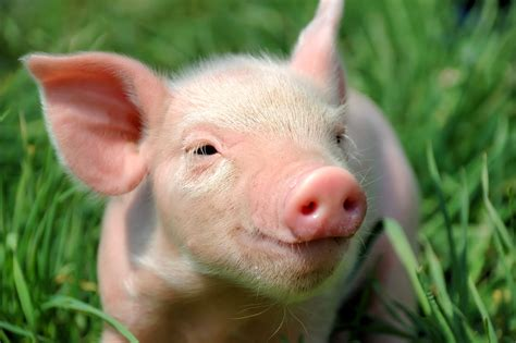 pig the interesting facts about pigs do you