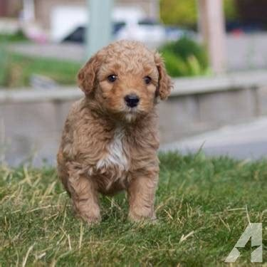 australian labradoodle puppies for sale beautiful australian labradoodle puppies for sale in cedar utah classified