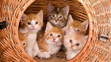 wallpaper of cat family wiklinowy kotki małe kosz na pulpit