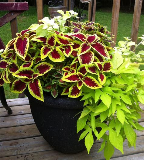 coleus and sweet potato vine gardening