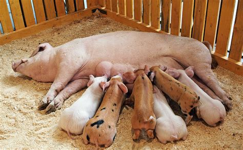 Yay Or Nay Fines For Ciggy Litter by To Milk A Pig One Chef S Obsession Modern Farmer