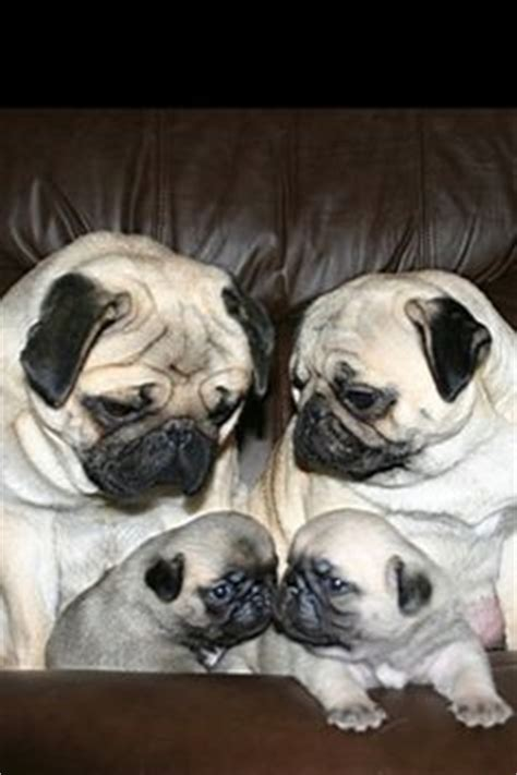 pug saves family from me some pug on pug pug puppies and baby pugs