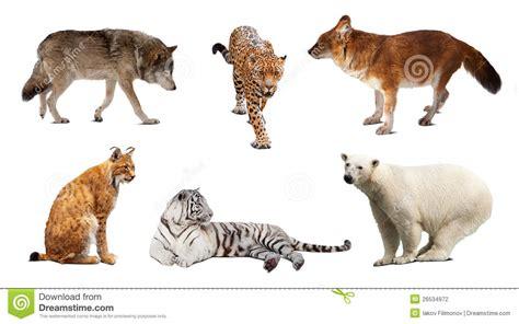 imagenes de animales carniboros animales carnivoros imagenes hd junio 2015 crisvivemor
