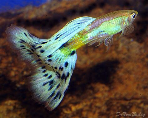 aquarium design for guppies 74 best images about guppies on pinterest cool fish