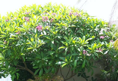 florida flowering shrubs bushes flowers florida style