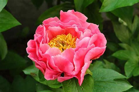 peonia fiore le peonie