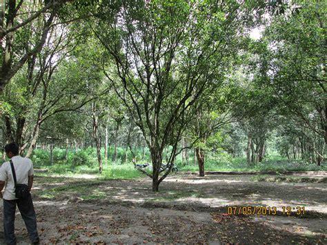 Bibit Jagung Unggulan cengkeh komoditi unggulan pt ssp pt sumber sari petung