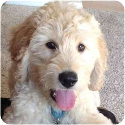 rescue illinois pictures goldendoodle rescue goldendoodle rescue illinois breeds picture