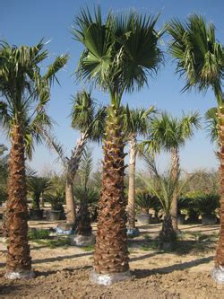 fan palm growth rate palm trees