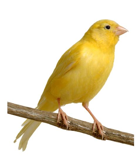 Let's Talk About Birds: Canaries   Pittsburgh Post Gazette