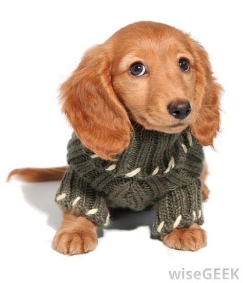 puppies in sweaters what are sweaters with pictures