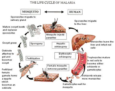 mosquito in panama the eradication of malaria and yellow fever in cuba and panama classic reprint books ciclo de vida de la malaria salud al alcance de su mano