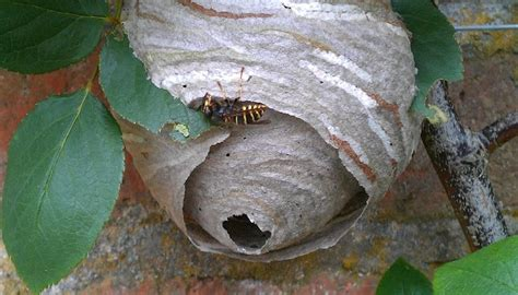 will my wasps and wasp nest just go away acclaim