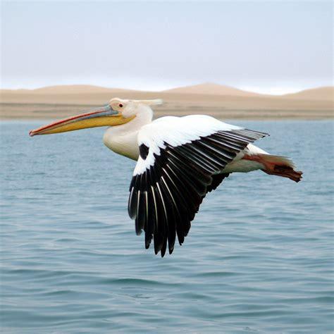Vigel Pelicin pelikan bei walvisbay tiere view fotocommunity