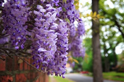 fiori glicine fiori glicine fiori di piante color glicine ecco il
