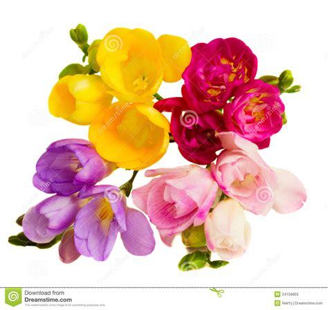 fresia bloemen s de bloemen van fresia s stock foto s afbeelding 24159603