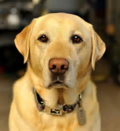 yellow lab or golden retriever best 25 yellow labrador retrievers ideas on yellow labrador puppies