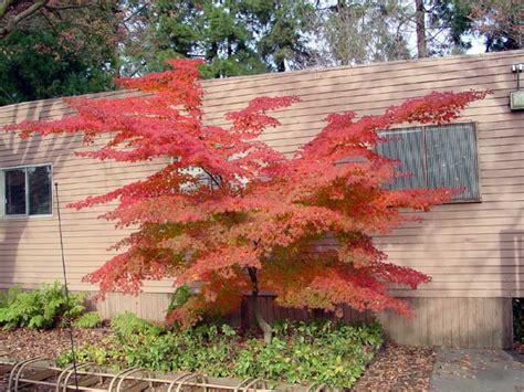 japanese maple varieties information