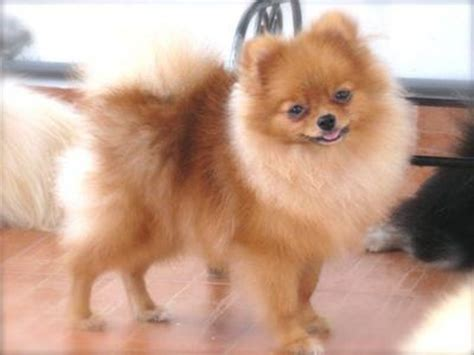 pomeranian grown size pomeranian teacup grown