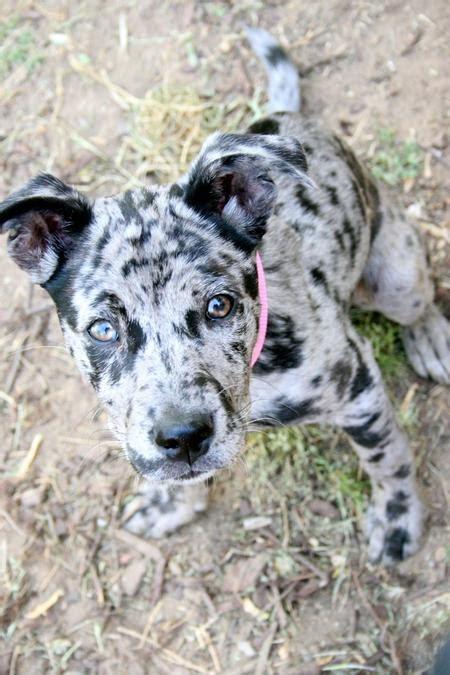 catahoula mix puppies catahoula leopard lola the catahoula leopard mix puppies daily puppy