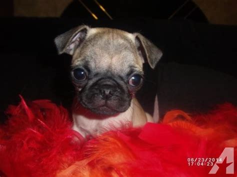 pug for sale nc pug puppies for sale for sale in murphy carolina classified