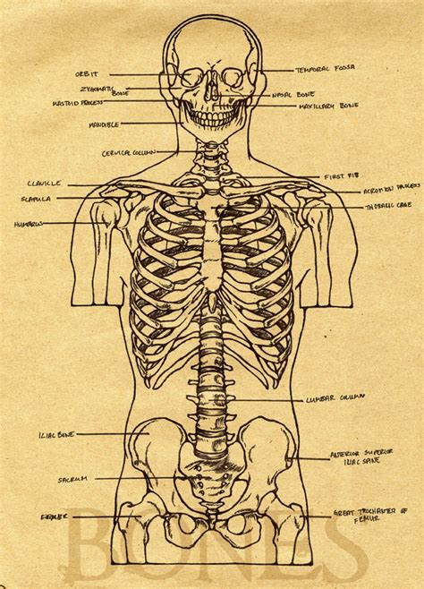 sketchbook versi 3 6 2 anatomy sketchbook part ii quot the skeleton torso quot desired