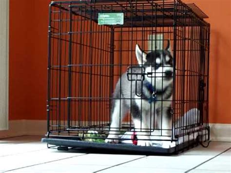 8 week puppy crate siberian husky puppy hates his crate