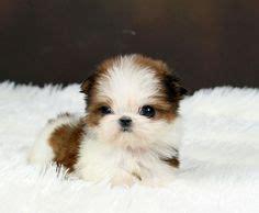 shih tzu for sale dubai teacup shih tzu rescue tiny teacup shih tzu puppies for sale puppies