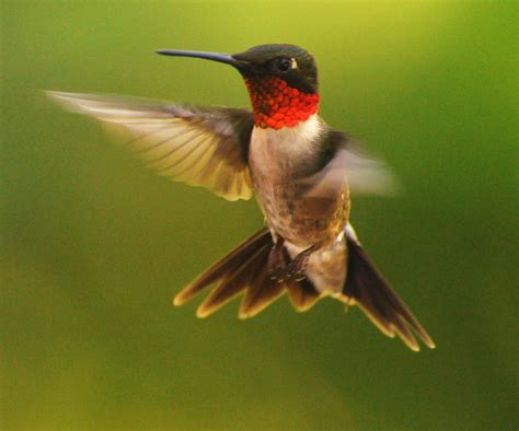 link 140 hummingbirds can fly backwards fun facts you