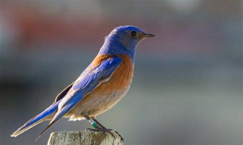 Blue Biru bluebird one s remarkable in the successful