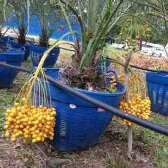Harga Bibit Kelengkeng Trubus jual bibit kurma kl1 thailand dan pohon kurma ajwa yang