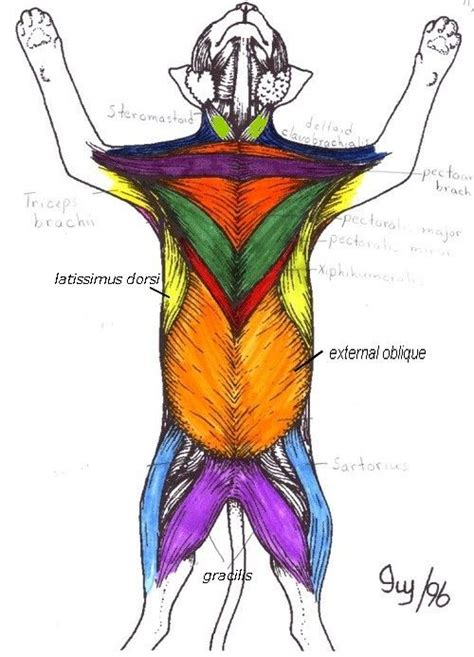 cat anatomy diagram muscles 5 cat anatomy diagram cat muscles