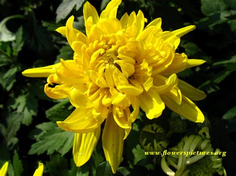 mums flowers yellow mums flower pictures