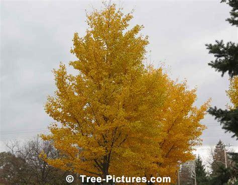 ginkgo biloba tree fall picture