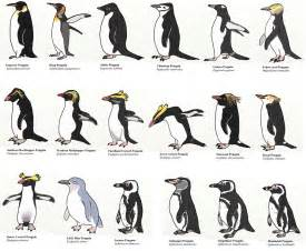 all 17 species of penguin pingu 239 ns pinterest