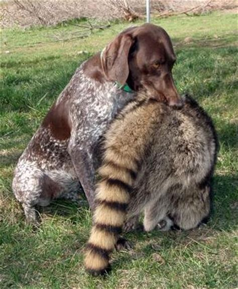 coon dogs for sale treeing coon dogs for sale breeds picture