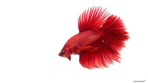 red fish wallpaper  images
