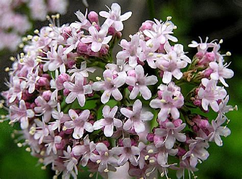 Benih Bunga Sweet Pea 5 Biji bibit bunga valerian herb