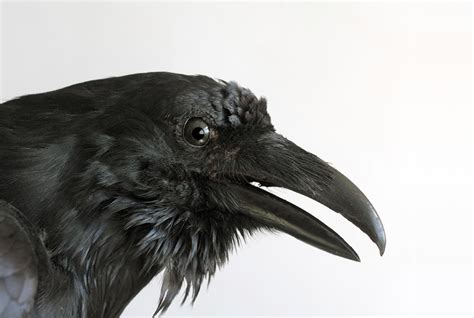 10 fascinating facts about ravens mental floss