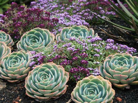 Echeveria x imbricata blue rose echeveria hens and chicks world of succulents