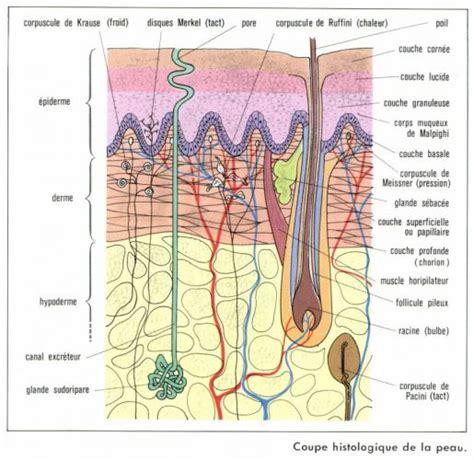 La Structure Histologique De La Peau Club Des Esth 233 Ticiennes