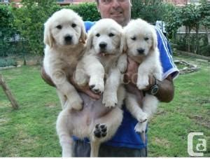 canadian golden retriever puppies for sale golden retriever puppies for sale in amos classifieds canadianlisted