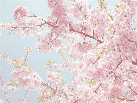 hanami pavia hanami wallpaper by zikarra japan japan
