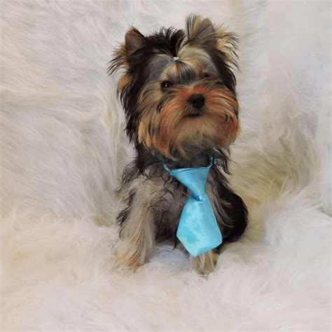 how often do yorkies teacup yorkie pup for sale hector teacup yorkies sale