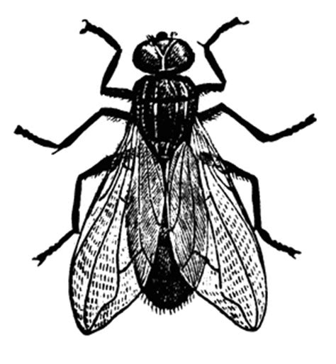 Fly | ClipArt ETC Insect Drawings Clip Art