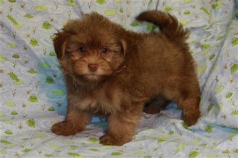 havanese chocolate puppies havanese puppy breeders in new york new york havanese puppies health guarantee