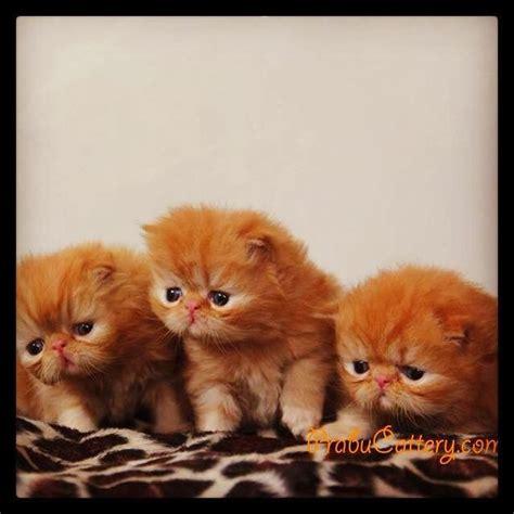 Berapa Obat Cacing Kucing prabu cattery mengapa harga kucing ras mahal